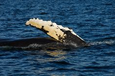 Humpback Whale fin -