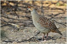 The Grey Francolin (Francolinus pondicerianus) is a species of francolin found in the plains and drier parts of India. They are found in open cultivated lands as well as scrub forest and their local name of teetar is based on their calls, a loud and repeated Ka-tee-tar...tee-tar which is produced by one or more birds. The term teetar can also refer to other partridges and quails. The species has long been domesticated in areas of northern India and Pakistan where it is used for fighting
