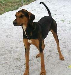 Adoptable Black & Tan Coonhounds on Pinterest | Animal ...