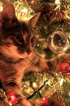 Curious Christmas Cat - That's why we tie down the tree each year