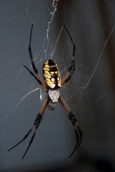 The Carolina Writing Spider is a Golden Silk Orb Weaver and is sometimes called a Banana Spider because of the colors on it. This spider is very common in N.C. but is not poison.
