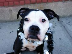 TO BE DESTROYED 10/21/14 Brooklyn Center - P  My name is SHANNON. My Animal ID # is A1016549. I am a female black and white pit bull. The shelter thinks I am about 1 YEAR   I came in the shelter as a STRAY on 10/06/2014 from NY 11233, owner surrender reason stated was STRAY. https://www.facebook.com/Urgentdeathrowdogs/photos/a.611290788883804.1073741851.152876678058553/884467418232805/?type=3&theater