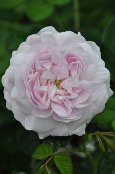 'Duchesse de Montebello' Gallica rose, 1824