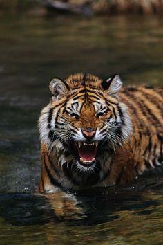 Siberian tiger.