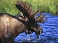 Moose watching in Maine