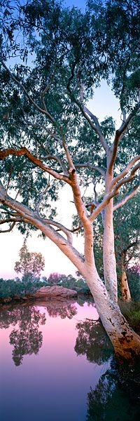 River Guardians - Gum Trees - Northern Territory, Australia
