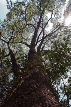 Considerada a árvore símbolo do Estado de São Paulo, raros são os locais da metrópole onde se pode observar o jequitibá-rosa em seu formato típico e idade avançada. Nativa da Mata Atlântica, a planta é considerada a gigante das florestas do bioma. O exemplar da Praça Coronel Fernando Prestes é centenário e foi plantado ali pela antiga Escola Politécnica: http://abr.io/4fc2