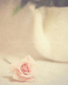 Pale pink rose & teapot flower photography