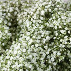 Gypsophila #plantas