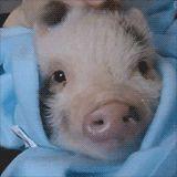 Piggy head scratches :)