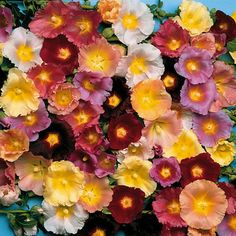 lights, mix seed, light hollyhock, hollyhock mix, seeds, garden, light mix, flower, happi light