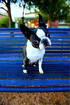 anim, boston terriersth, pet, cute boston terrier puppies, bostonterrier, boston thing, dog, friend, dee dee