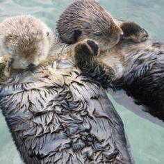 otters holding hands, drift apart, anim, seas, hold hand, smile, sleep, sea otters, otter hold