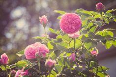 Growing 'Reine Victoria' Bourbon Rose
