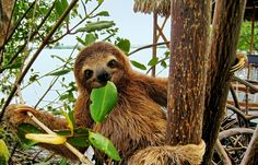 Sloth fur may cure breast cancer and other diseases http://www.deathandtaxesmag.com/213657/sloth-fur-may-cure-breast-cancer-and-other-diseases/