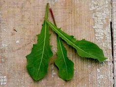 French Dandelion | Baker Creek Heirloom Seed Co