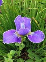 An Iris spotted at Packwood by Lucy Teagu