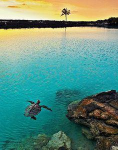 Turtle swimming at sunset, Pu'u Wa'awa'a Ahupua'a, Kailua Kona, Hawaii. #turtle #sunset #Hawaii hawaiianforyou.com