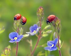 3 Lady bugs and 3 blue flowers