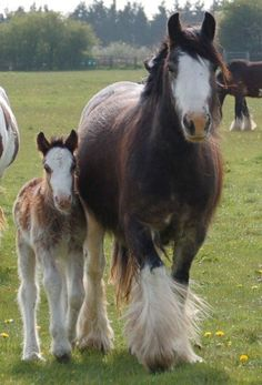 My Way & Diamond Dolly, Gypsy Vanner Horse mare and foal in the UK