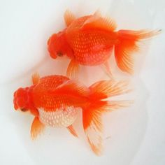 Pearlscale (Goldfish)