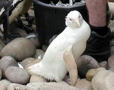 Albino Penguin (This one-in-a-million albino African penguin chick was hatched at Bristol Zoo on 2002.