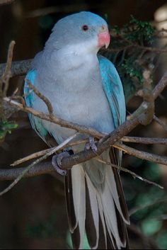 Blue-winged parrot.