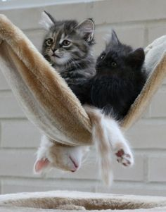 {3 kittens in a hammock} the bottom one!!