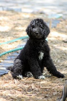 week old portuguese water dog puppy dog sitting picture