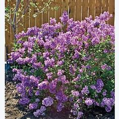 """Bloomerang™ Reblooming Lilac. Sweet, Fragrant Blooms Again and Again! As its name implies, this gorgeous lilac's lush, purple-pink panicles of sweetly fragrant flowers bloom heavily in mid-spring to fall and rebloom lighter throughout the summer. Deep green foliage provides a lovely contrast to the delicate flowers. Compact, well-branched shrubs offer ample support for the weight of the blooms. Reaches 4-5' tall with a similar spread. Ships in a 5"""" pot. Zones: 4-7"""