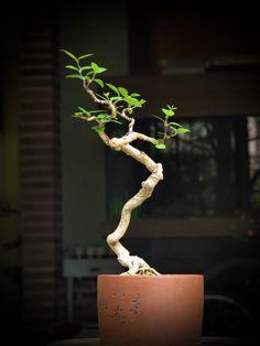 bonsai garden, 盆栽 bonsai, beauti bonsai, mamebonsai, shohin bonsai, ikebana, mame bonsai, mini bonsai, bonsaishohinmameminiatur