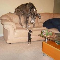 great danes, anim, funny dogs, small dogs, funni, puppi, chihuahua, little dogs, big dogs