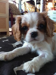 I love cavalier king charles spaniel puppies. He is so cute!!