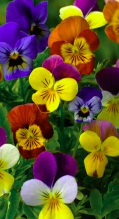 Violets and Pansies are among the most beautiful flowers in the world!