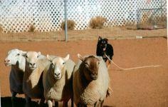 australian shepherd, dog