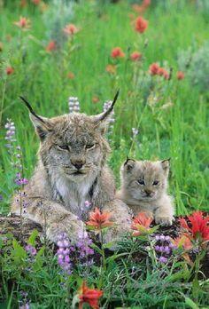 llbwwb:  Lynx and cub by Picturegirl