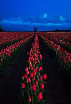 Skagit Valley tulips , Washington State