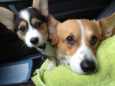 """""""The Corgi specializes in BRAIN BORING. Brain boring is the ability to stare at a human and suck key information out of their mind. Corgis use this skill daily to gather information about meals, times that they might sneak up on the kitchen table for a nap, and possible outings that are being planned."""""""