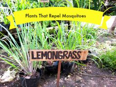Plants That Repel Mosquitoes - Lemon Grass http://www.jcehrlich.com/blog/plants-which-repel-mosquitoes/