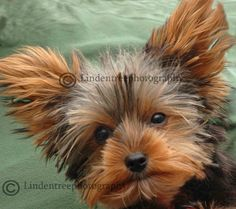 Yorkie Puppy Handmade Notecard by Lindentreephotograph on Etsy