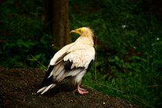 Egyptian Vulture (Neophron percnopterus), also called the White Scavenger Vulture or Pharaoh's Chicken. feed mainly on carrion but are opportunistic and will prey on small mammals, birds, and reptiles. Egyptian Vultures also use twigs to roll up wool for use in their nest.Populations of this species have declined in the 20th century and some island populations are endangered by hunting, accidental poisoning, and collision with power lines.