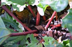 Rhubarb Growing Guide -Too Shaded Plant   An Oregon Cottage