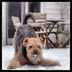 First picture of an Airedale Terrier on any of our boards.  i haven't seen one of these in forever.  Airedale terriers love the snow!  #puppied