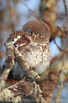 """Barred Owlet, """"Can I Help You?"""""""