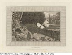 Toooo....Cool.  Harvard University - Houghton  Library - Butterfly Plate.  tumblr_mzkdweI0GG1s83h8do1_1280.jpg (1280×987)