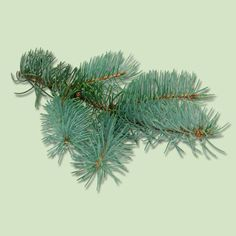 The pros and cons of buying a blue spruce Christmas tree. | Photo: WILDLIFE GmbH/Alamy | thisoldhouse.com