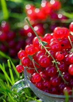 lingonberries.... / ripsbaer