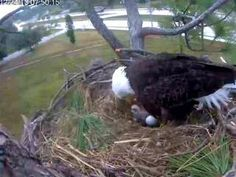 Southwest Florida Eagle Cam: Ozzie and Harriet - The first egg has hatched. Stream Live 24/7 here!