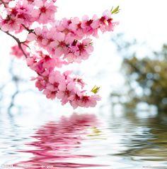 pink flowers, nature, tree, cherri blossom, beauty, cherries, spring blooms, full bloom, cherry blossoms