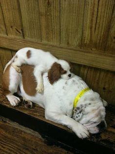 Cavalier King Charles Spaniel and a bulldog